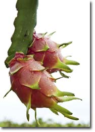 Dragon fruit Ripening on the Tree