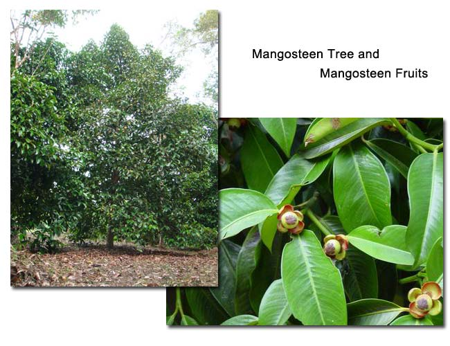 Mangosteen Trees and Mangosteen Fruit