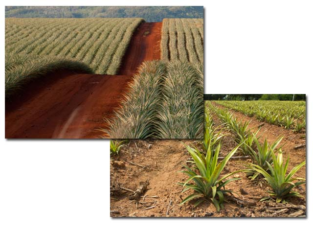 Red Dirt Road in Pinapple Field and Pineapple Rows